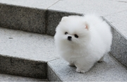 BCVC  @@@@ Charming Pomeranian up to date on shots. 07031964582
