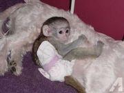 Adorable Capuchin Monkey