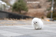 DB Stunning,  miniature White Pom  07031956739