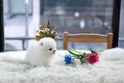 VGD Stunning,  miniature White Pom  07031956739