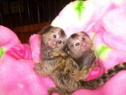 IFRA  Capuchin pygmy marmoset available 07031964582