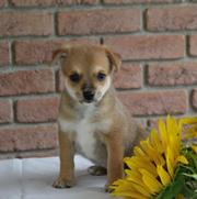 new litters Pom/Terrier Puppy