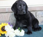 njr Newfoundland/Lab Mix for sale