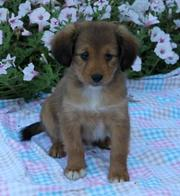 hpje'h sheltie-mix-puppies-for-sale.