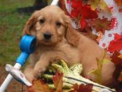 Mini Golden or Comfort Service Retriever.