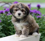 EYWJJYREN  Havanese Puppy for Sale CALL 07031957695