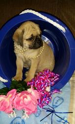 4TTGH   Pug Hybrid Puppy for Sale