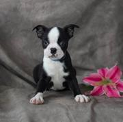 DGSRGDB   Boston Terrier Puppy for Sale