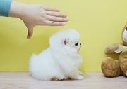 DHREHR quality  Pomeranian