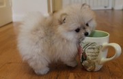 RTZHD quality  Pomeranian