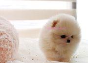 DGDSCX quality  Pomeranian