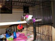 sdhdhffd  Capuchin  pygmy marmoset CALL  07031957695