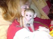 ERGG  Capuchin  pygmy marmoset CALL  07031957695