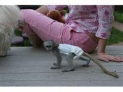 pygmy marmoset Capuchin Contact CALL 07031957695