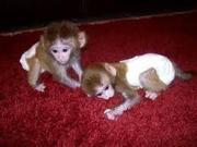 VV pygmy marmoset Capuchin Contact CALL 07031957695