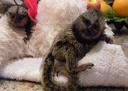 HJB pygmy marmoset Capuchin Contact CALL 07031957695