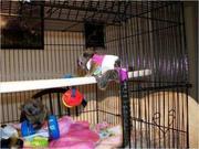 HDHHDF pygmy marmoset Capuchin Contact CALL 07031957695