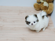 NN Pedigree Pomeranian Microchipped,  Vaccinated 07031957695