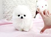HFGG Pedigree Pomeranian Microchipped,  Vaccinated 07031957695
