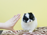 JHDFFDHHF Pedigree Pomeranian Microchipped,  Vaccinated 07031957695