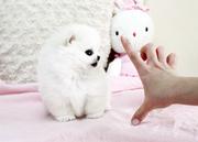 SCHUV Pedigree Pomeranian Microchipped,  Vaccinated 07031957695