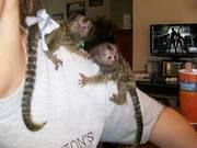 JRE  Adorable Twin Pygmy Marmoset and Capuchin 07031957695