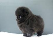 DSHH Temperament high quality Pomeranian CALL 07031957695