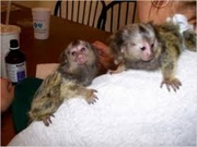 SKE Adorable Twin Pygmy Marmoset and Capuchin 07031957695