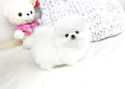 JSDJ Temperament high quality Pomeranian CALL 07031957695