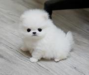 HEWHFW  Temperament high quality Pomeranian CALL 07031957695