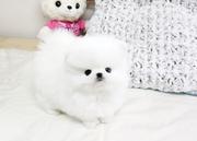 Ro Pomeranian For Sale CALL 07031957695