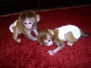 11 Adorable Twin Pygmy Marmoset and Capuchin 07031957695