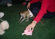 po Adorable Twin Pygmy Marmoset and Capuchin 07031957695