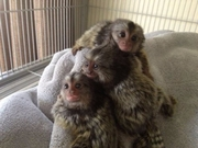 Tom Adorable Twin Pygmy Marmoset and Capuchin 07031957695