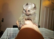 -Adorable Twin Pygmy Marmoset and Capuchin 07031957695