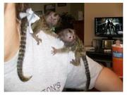 Ready Adorable Twin Pygmy Marmoset and Capuchin 07031957695