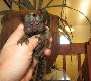 PAWER Well trained Capuchin Marmoset need a new home -07031957695