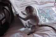 DJFFJ  Capuchin Marmoset need a new home -07031957695