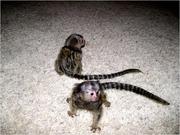 JSGD  Capuchin Marmoset need a new home -07031957695