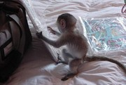 KFSGD Capuchin Marmoset need a new home -07031957695
