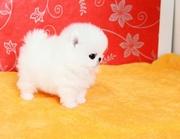 Pommaranian pupps need a new home -07031957695