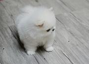 LOLO Pommaranian pupps need a new home -07031957695