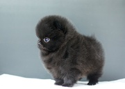 VZCX  Pommaranian pupps need a new home -07031957695
