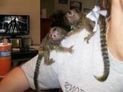 DFGF   Adorable Twin Pygmy Marmoset and Capuchin 07031957695