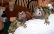 CVSD  Adorable Twin Pygmy Marmoset and Capuchin 07031957695