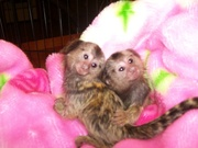 MG6 Adorable Twin Pygmy Marmoset and Capuchin 07031957695