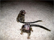 JY5W Adorable Twin Pygmy Marmoset and Capuchin 07031957695