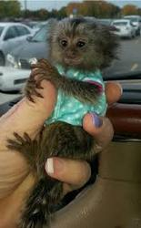 L9 Adorable Twin Pygmy Marmoset and Capuchin 07031957695