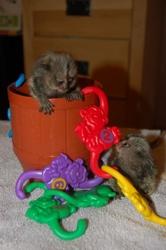 Y7I adorable little Wonderful Pygmy Marmoset and Capuchin 07031957695