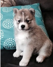 TO89 checked friendly,  and sociable Pomsky For Sale 07031957695